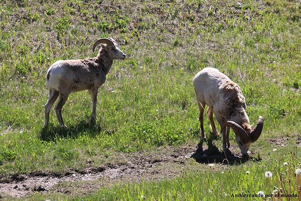 Cabras Canadá