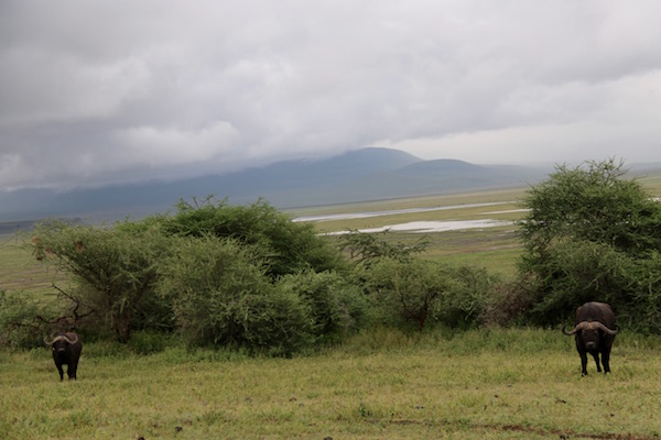 Búfalo Cafres Ngorongoro-Andorreando por el Mundo