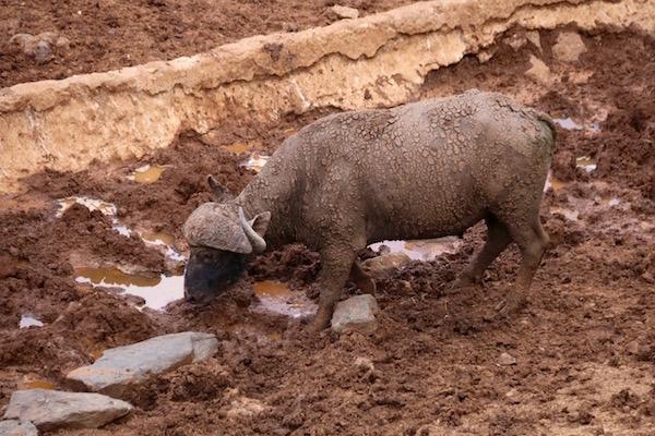 Bufalo Aberdare-Andorreando por el Mundo