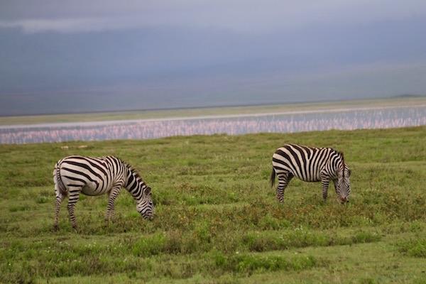 Cebras Ngorongoro-Andorreando por el Mundo