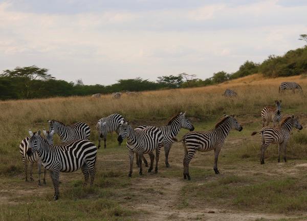 Cebras Parque Nacional Lago Nakuru