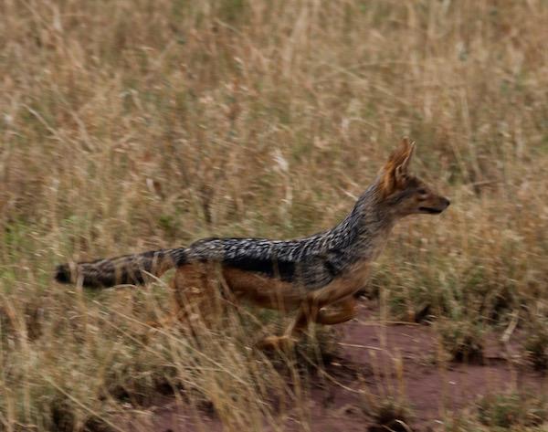 Chacal Serengeti-Andorreando por el Mundo