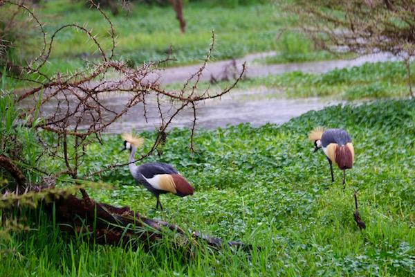 Grulla Coronada Ngorongoro-Andorreando por el Mundo