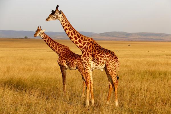 Jirafas Maasai Mara