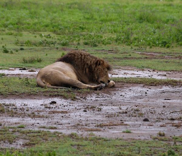 León Ngorongoro-Andorreando por el Mundo