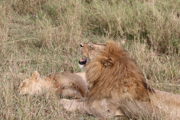 León y Leona Serengeti