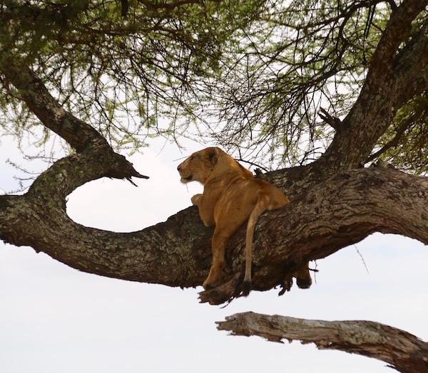Leona Serengeti-Andorreando por el Mundo