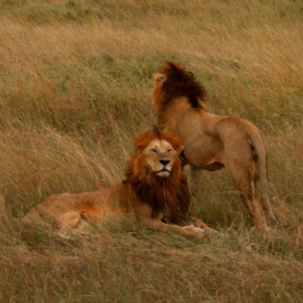 Leones Maasai Mara-Andorreando por el Mundo
