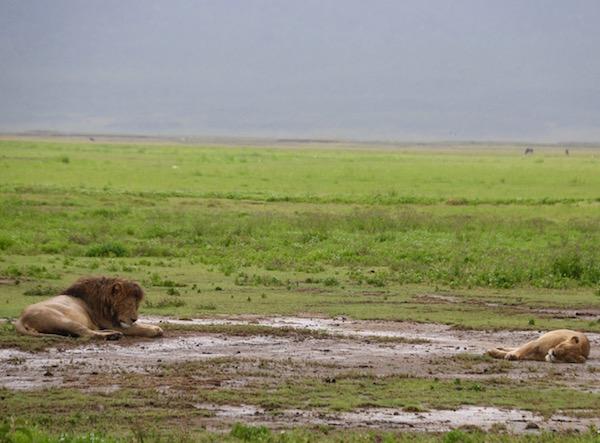 Leones Ngorongoro-Andorreando por el Mundo