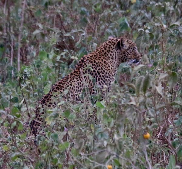 Leopardo Lago Nakuru