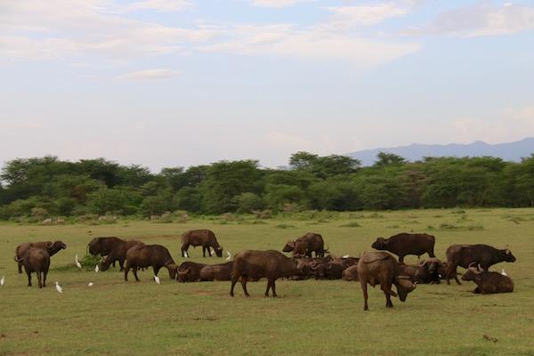 Manada Búfalos Cafres Lago Manyara-Andorreando por el Mundo