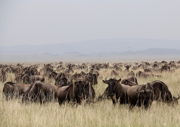 Manada de Ñus Serengeti-Andorreando por el Mundo