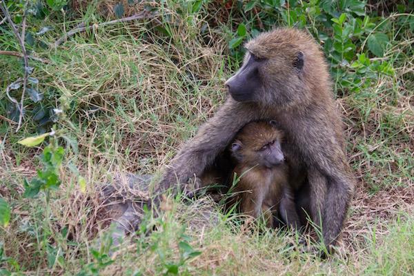 Monos culo pelado Lago Nakuru-Andorreando por el Mundo