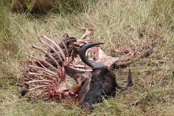 Restos Ñus Serengeti-Andorreando por el Mundo