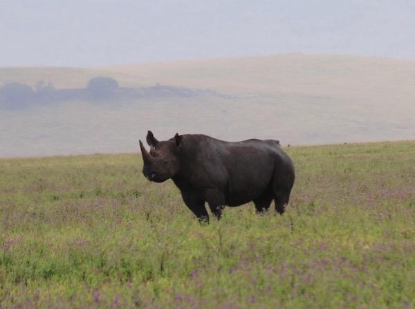 Rinoceronte negro Ngorongoro-Andorreando por el Mundo