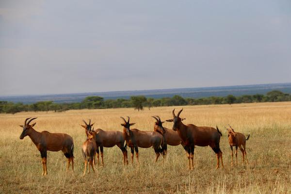 Topi Serengeti-Andorreando por el Mundo