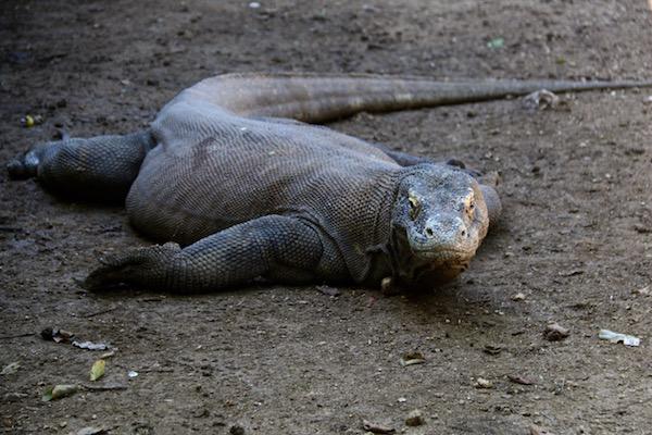 Dragón Komodo