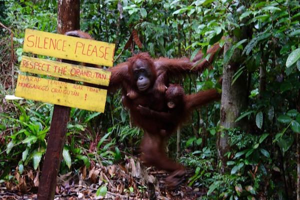 orangután, cría.