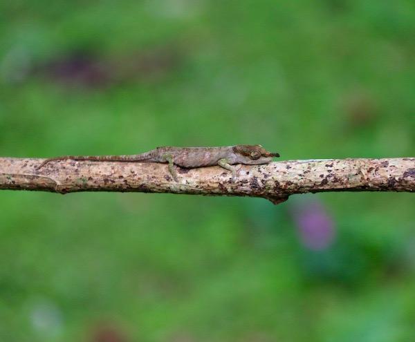 Camaleón nariz larga