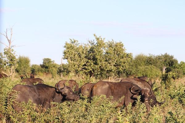 Manada búfalos