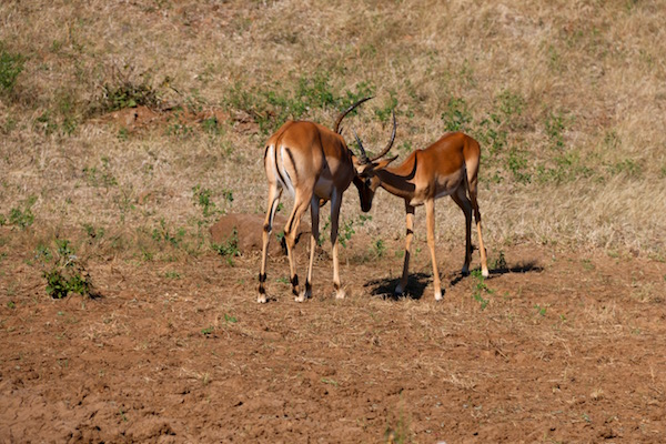 Pelea Impalas
