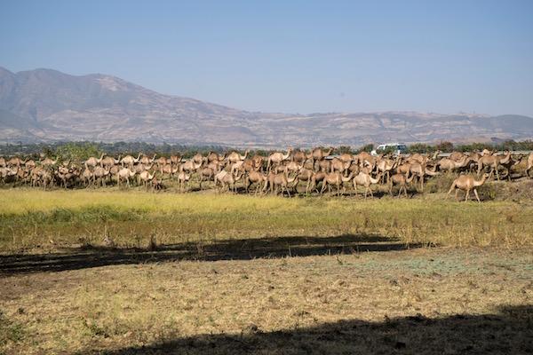 Manada Camellos