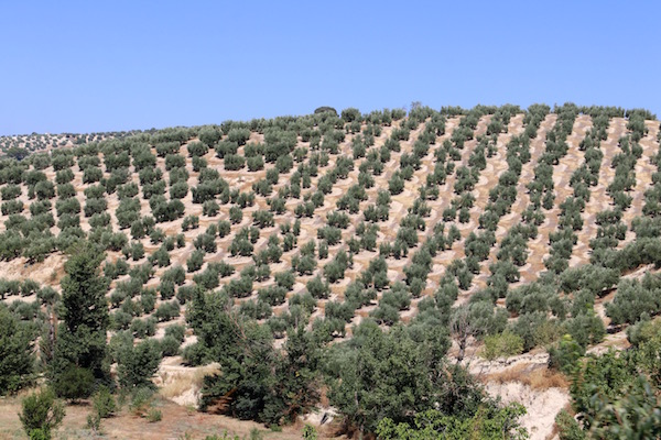 Campos de olivos, Montefrío.
